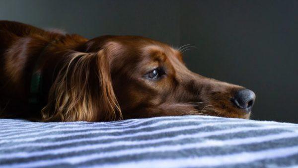 Mini urn hond: voor uw kleine of grote rakker